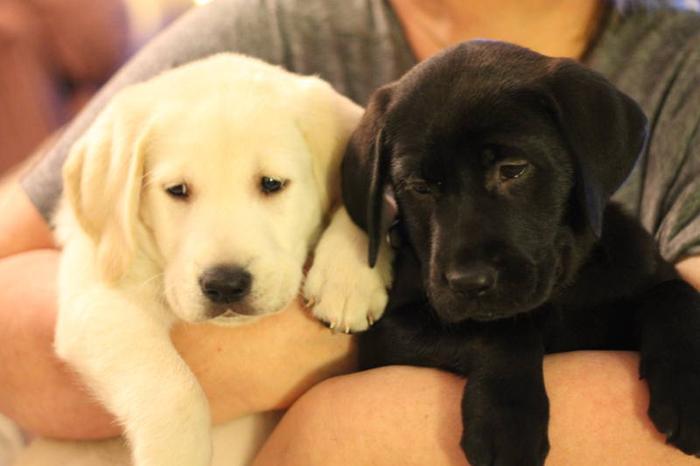 Gorgeous *** WHITE & BLACK LAB PUPPIES *** Pure!