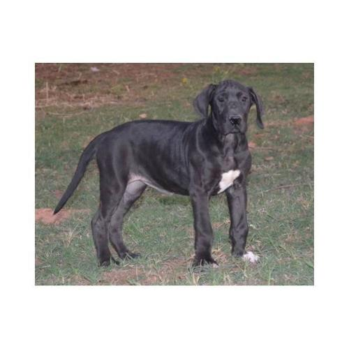 Great Dane Puppies For Sale In Winnipeg Manitoba Nice Pets In Canada