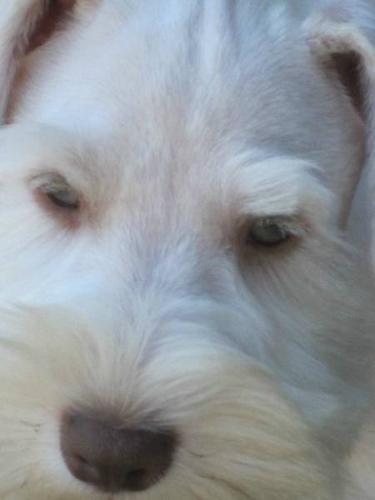 GREAT PRICE-White Chocolate CKC Reg. Miniature Schnauzer Puppy