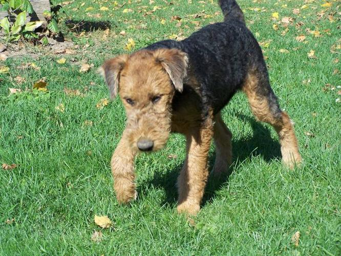 Airedale Dogs For Sale Ontario