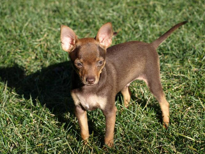 happy  playful  loveable russian toy terrier puppies for
