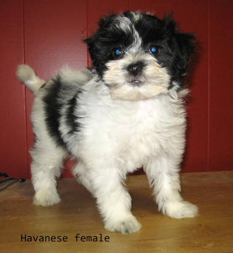 Havanese and Havanese cross puppies.