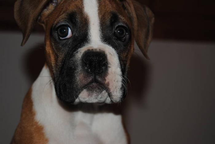 Healthy Happy Boxer Pups Ready to go