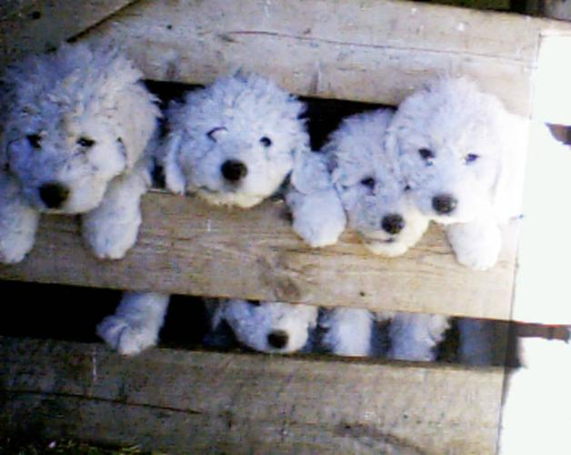 Hungarian Komondor Puppies For Sale In Arrowwood Alberta Nice