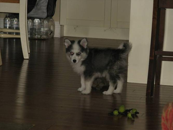 Huskimo Puppy for Sale Ready to go! for sale in North Bay