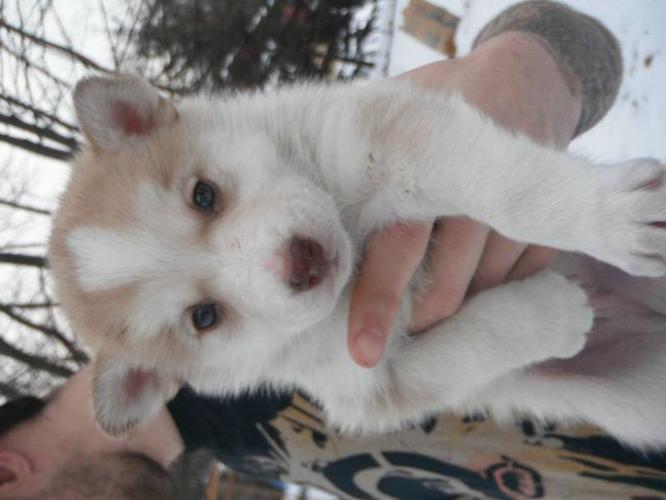 Husky Puppies Forsale