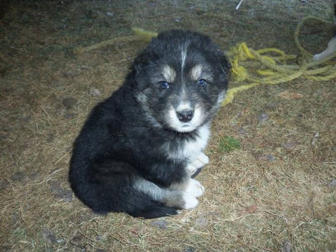Husky/Border Collie Puppies