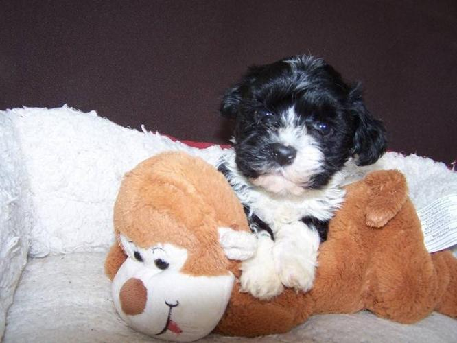 Hypo-Allergenic Havanese Puppies - NOW READY TO GO! for sale