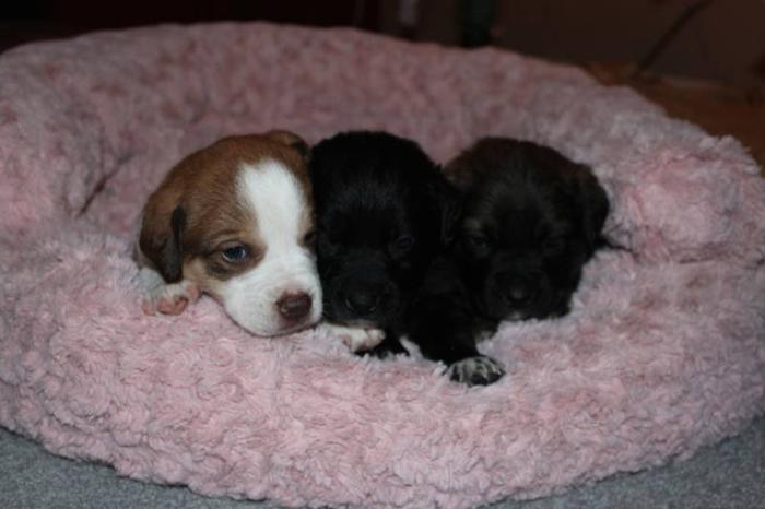 lab crossed with bernise moutain dog puppies:)