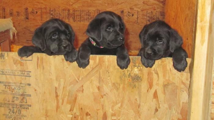 Lab Puppies -- CKC Registered Chocolate and Black READY TO GO