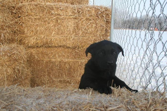 Labrador cross German Shepherd Puppies