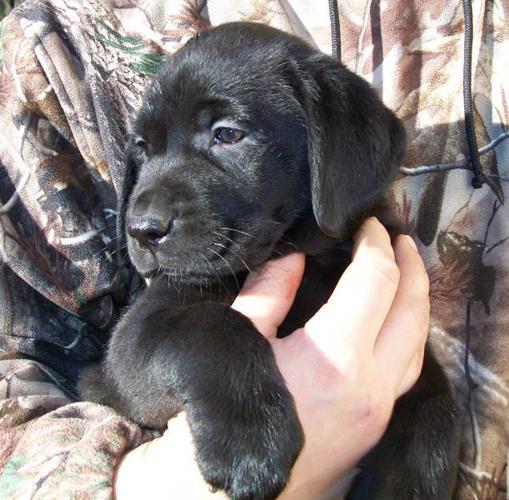 Labrador Retrievers- CKC Registered