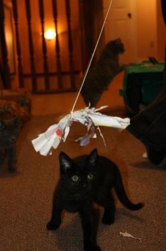 Little Black Bandit (kitten)