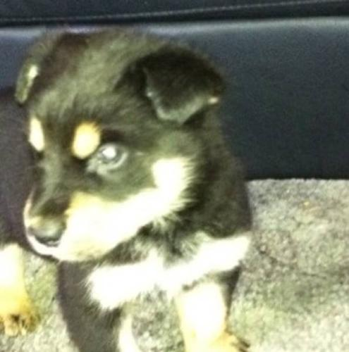 Malamute Cross Rottweiler Puppies & Malamute x Husky pup for sale in ...