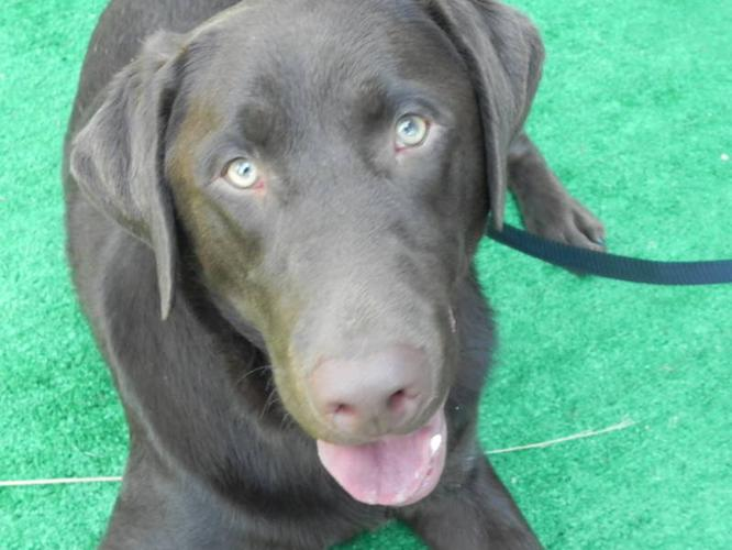 Male Chocolate Labrador Retriever