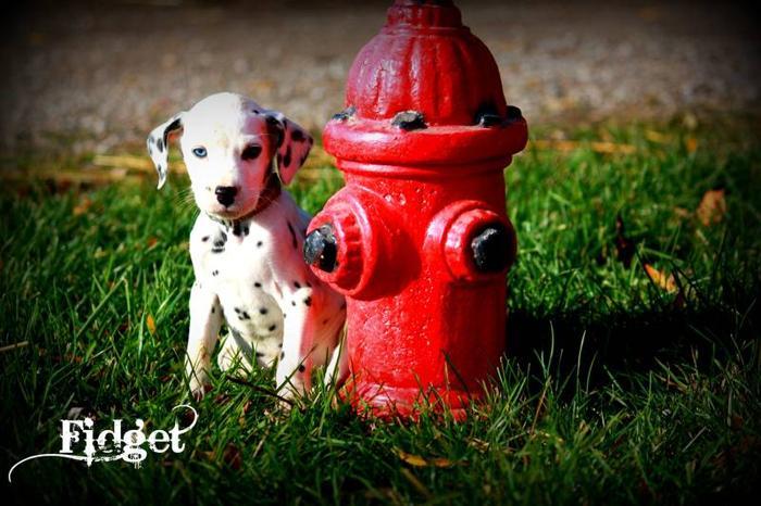 Male Dalmatian Puppy - Fidget