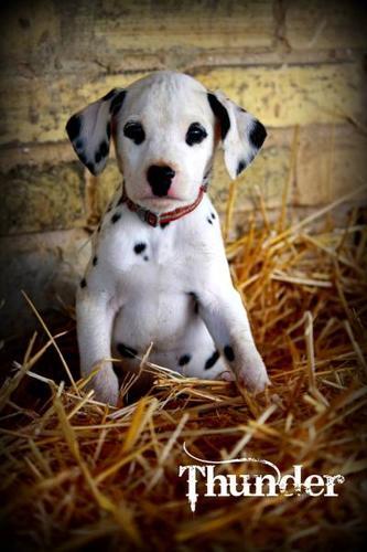Male Dalmatian Puppy - Thunder