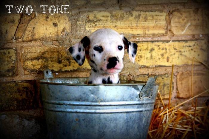 Male Dalmatian Puppy - Two-Tone