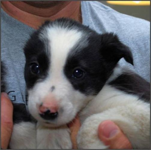 Male Dog - Border Collie Australian Cattle Dog (Blue Heeler) for sale ...