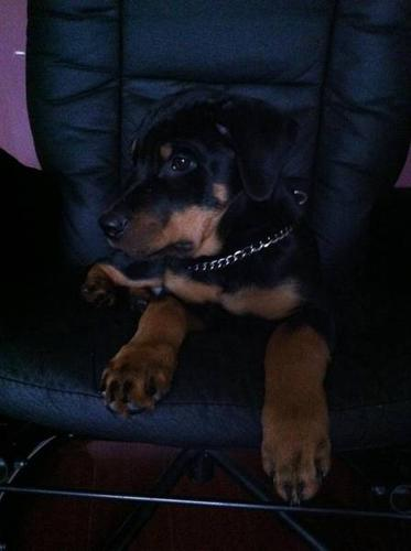 Male Rottweiler Puppy $1000 obo