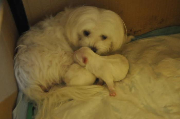 Maltese puppy Pre-order
