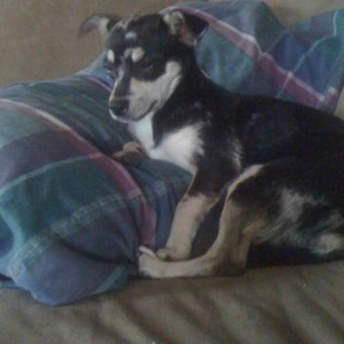 Merle Chihuahua needs a home