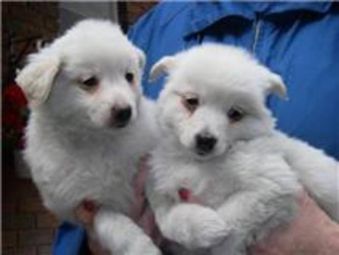 MINATURE AMERICIAN ESKIMO PUPPIES, ONLY $295