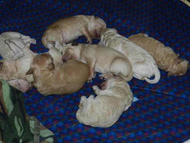 Mini Goldendoodle Puppies For Sale In Harrow Ontario Nice