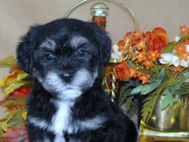 Mini Schnauzer X Bichon Frise - Non-shedding family puppies
