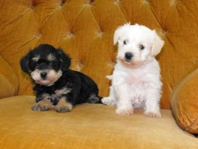 Mini Schnauzer x Toy Poodle