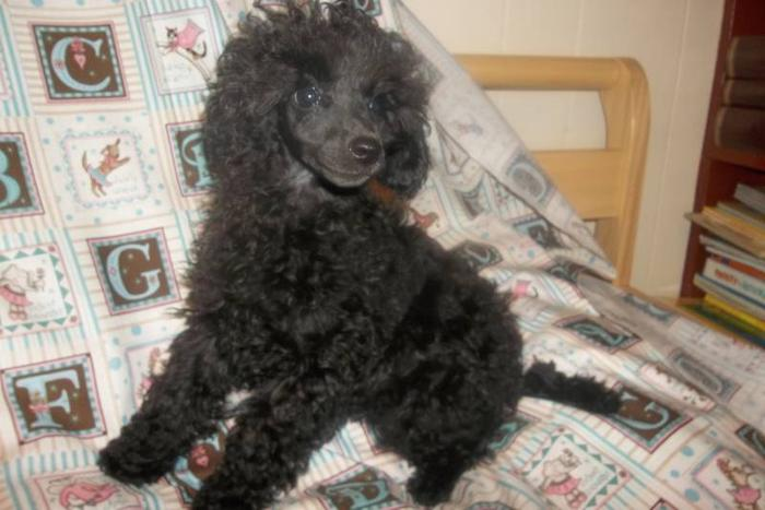 Miniature and Toy Poodle Puppies