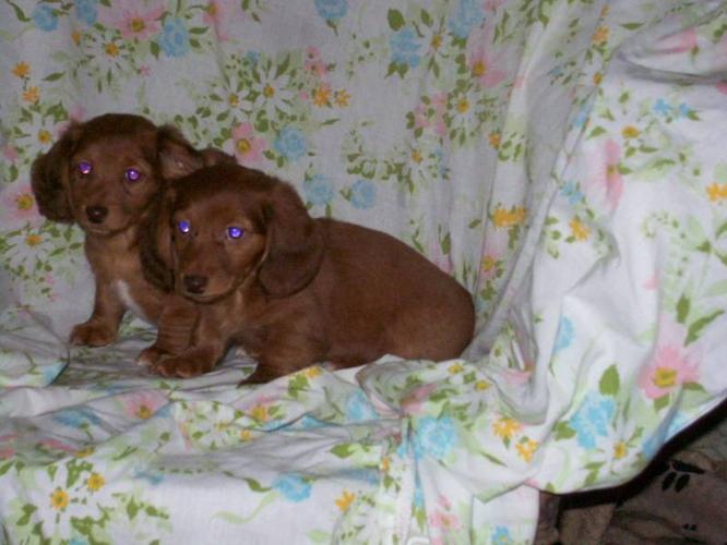 Miniature Longhaired Dachshunds. Can Deliver or Ship.