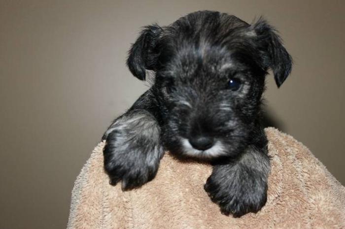 Miniature Schnauzer Pups - Purebred - Hypoallergenic