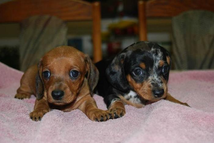 Miniature Smooth Short Haired Dachshund Puppies For Sale