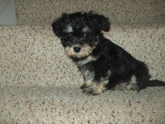 Morkie-Poo Puppies!! for sale in Toronto, Ontario - Nice pets in Canada