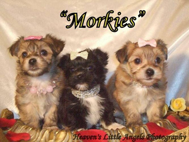 Morkie Puppies for sale in Lowe Farm, Manitoba - Nice pets in Canada