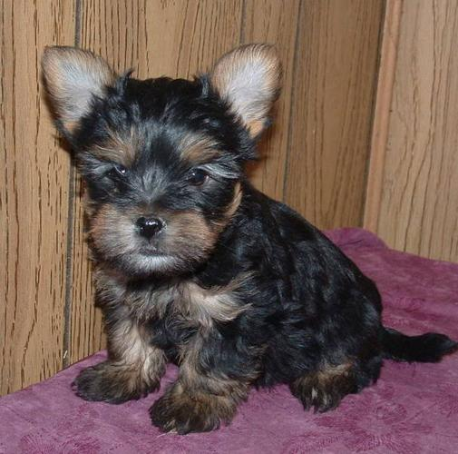 Morkies now 8 weeks old - ready for their forever home