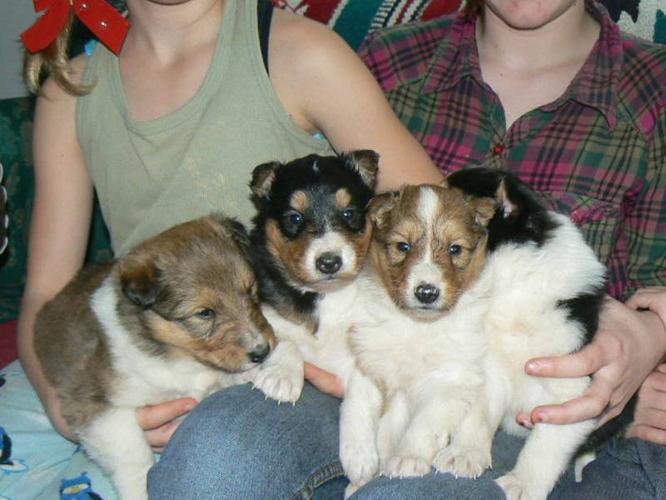 NEW YEARS Lassie/Rough Coat Collie's-Big White Collars!