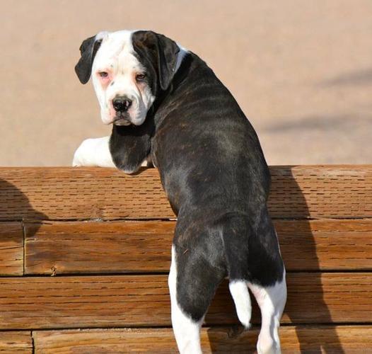 NKC Registered American Bulldog Puppies