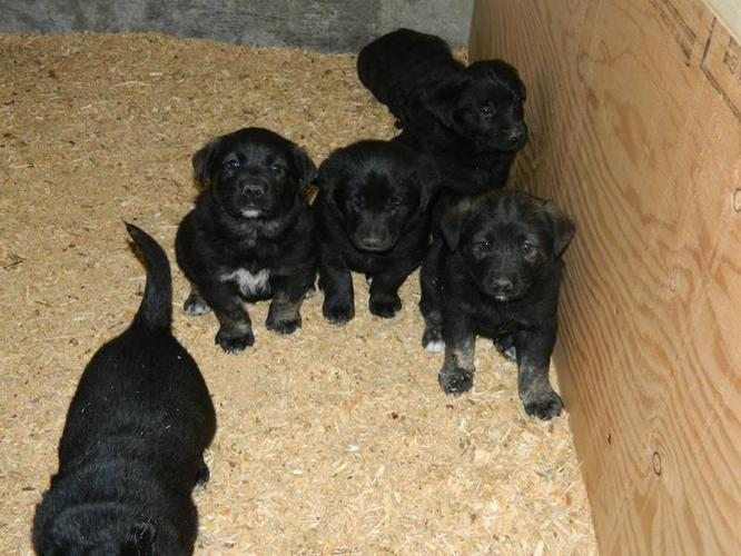 norwegian elkhound black lab puppies to a good home for
