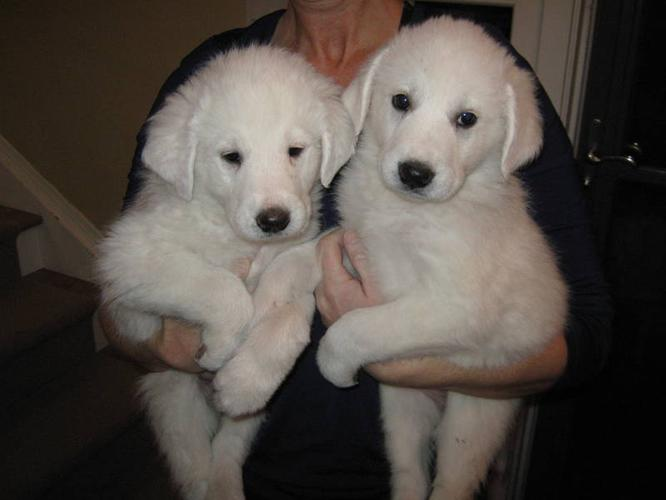 NOW READY Maremma/Kuvas + Great Pyreneese = White Beautiful Pups