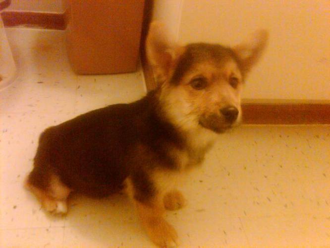 Nunavut dwarf puppy looking for a good home