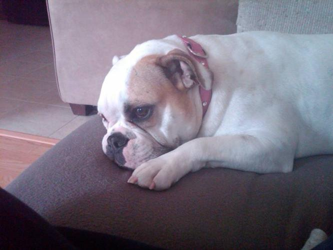 Olde English Bulldog for Adoption for sale in Brampton, Ontario
