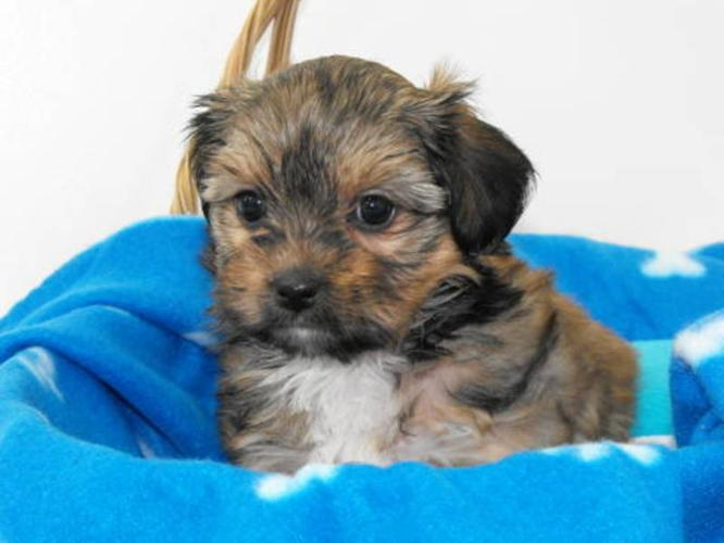 Only 1 female Shih Tzu X Yorkshire Terrier (SHORKIE) remaining