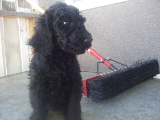 Only 1 Female Standard Poodle Puppy Left For Sale In