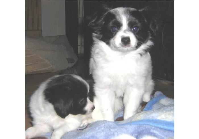 Papillon puppy looking for a loving home!