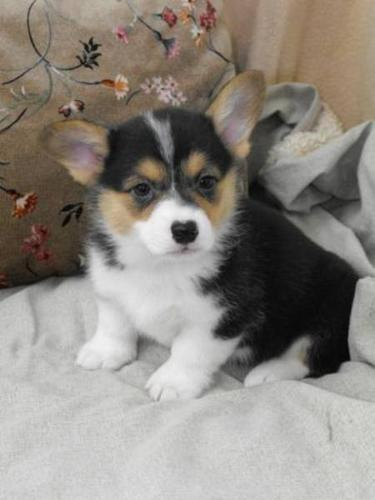 Pembrooke Welsh Corgi Puppies