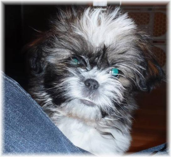 Perfect little Mal-shih baby girl!! 2 vaccines-Regular $700