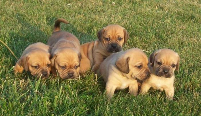 Pocket Puggle Puppies