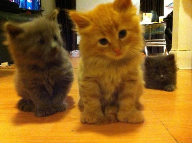 Polydactyl Kittens for sale in Orillia, Ontario - Nice ... Orange Polydactyl Cat